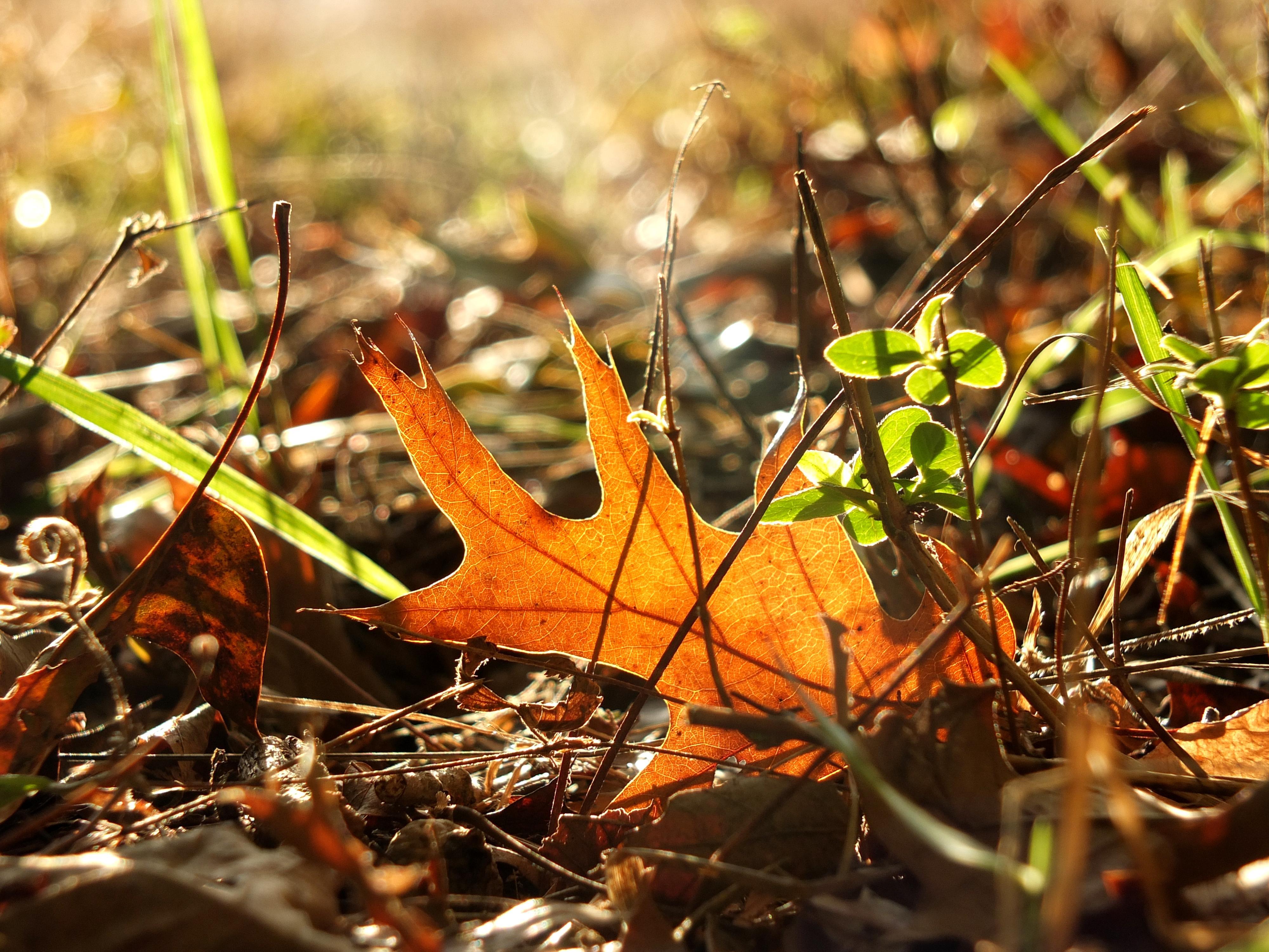 fallen-oak-leaf-sun-3143-1